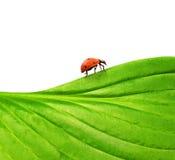 Ladybug on a green leaf Royalty Free Stock Photos