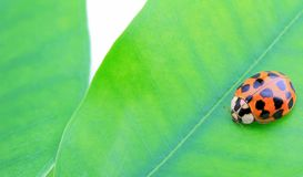 Ladybug on green leaf Stock Photography