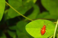 Ladybug on a green leaf Royalty Free Stock Image