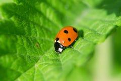 Ladybug. On a green leaf Royalty Free Stock Photography
