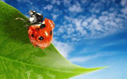Ladybug on green leaf. Over blue sky background Royalty Free Stock Photos