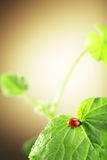Ladybug  on green leaf Stock Images