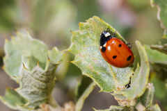 Ladybug. On the green leaf Stock Images