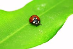 Ladybug on green leaf Stock Image