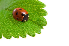 Ladybug and green leaf Royalty Free Stock Image
