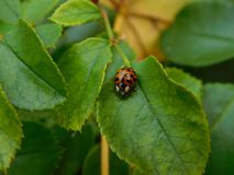 Ladybug on green leaf