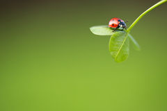 Ladybug on green leaf Royalty Free Stock Photos