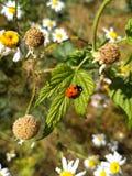 Ladybug on a green leaf Royalty Free Stock Images