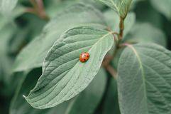Ladybug on green leaf and green blurry background royalty free stock images