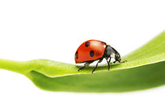 Ladybug on a green leaf Royalty Free Stock Image