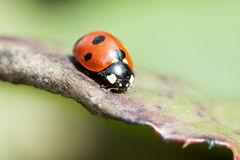 Ladybug on green leaf Royalty Free Stock Photography