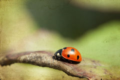 Ladybug on green leaf Royalty Free Stock Images