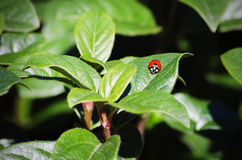 Ladybug at Green Leaf Stock Photo