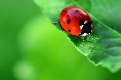Ladybug on green leaf Stock Image