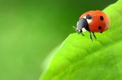 Ladybug on green leaf Stock Photography