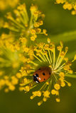Ladybug on green leaf dill.  Royalty Free Stock Photos