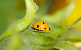 Ladybug on green leaf. In garden Stock Photo