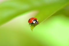 Ladybug on a green leaf in the grass, close-up ladybug. Stock Image