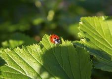 Ladybug on a green leaf Royalty Free Stock Photography