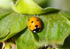 Ladybug on green leaf. In garden Royalty Free Stock Photo