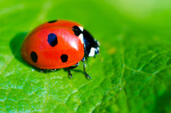 Ladybug. On a green leaf macro Stock Photography