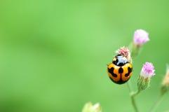 Ladybug on a green leaf Stock Photography