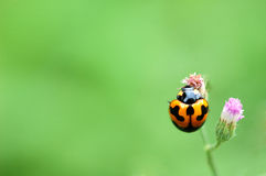 Ladybug on a green leaf macro Royalty Free Stock Photography