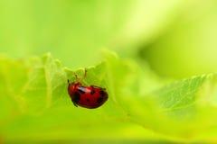 Ladybug on a green leaf macro Royalty Free Stock Image