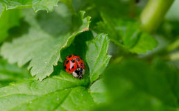 Ladybug. On green leaf. Macro Stock Images