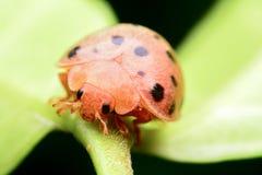 Ladybug on green leaf Royalty Free Stock Image