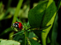 Ladybug on a green leaf of a plant Stock Photos