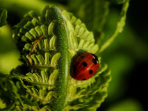 Ladybug on a green leaf of a plant Stock Images