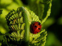 Ladybug on a green leaf of a plant Royalty Free Stock Image