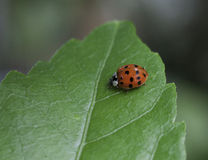 Ladybug on a Green Leaf Royalty Free Stock Photos