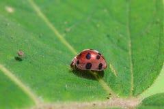 Ladybug on a green leaf Stock Photos