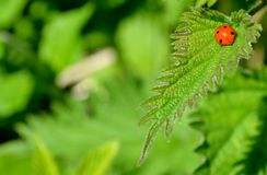 Ladybug and green leaves Stock Photos