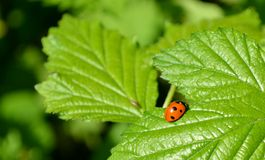Ladybug and green leaves Stock Image