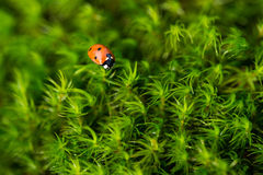 Ladybug on the green moss, close up with small depth of field. Red Ladybug on the green moss, close up with small depth of field, meadow in the forest Royalty Free Stock Photos