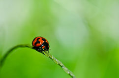 Ladybug in green nature Royalty Free Stock Image
