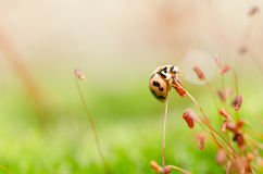 Ladybug in green nature Royalty Free Stock Photo