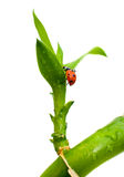 Ladybug on green plant. Ladybug on a green branch on white background Royalty Free Stock Photo