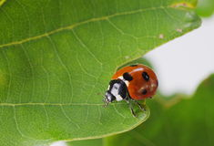 Ladybug on green plant Stock Image