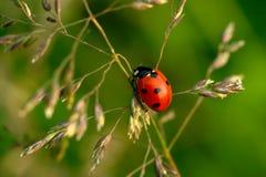 Ladybug on green plant Royalty Free Stock Images