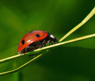 Ladybug on green plant Stock Photos
