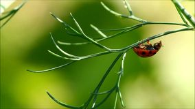 Ladybug on a green plant with green background Royalty Free Stock Photography