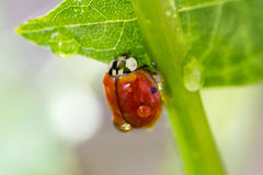 Ladybug on a green stalk Royalty Free Stock Image