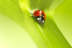 Ladybug on a green stalk Stock Photos