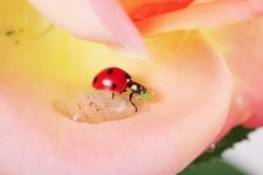 Ladybug having a nice meal in a rose Royalty Free Stock Image