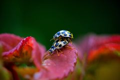 Ladybug having sex in the spring Royalty Free Stock Photo