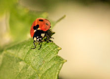 Ladybug with a heart Royalty Free Stock Photo